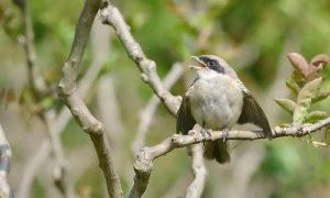 鵙指伯劳鸟,喜阴的它现身枝头,感阴而鸣,好像在诉说春之离愁,也似在畅想夏之诗意。