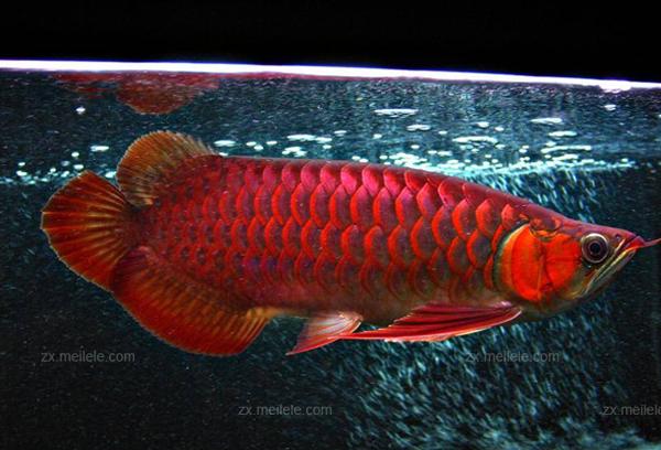 红龙鱼养殖