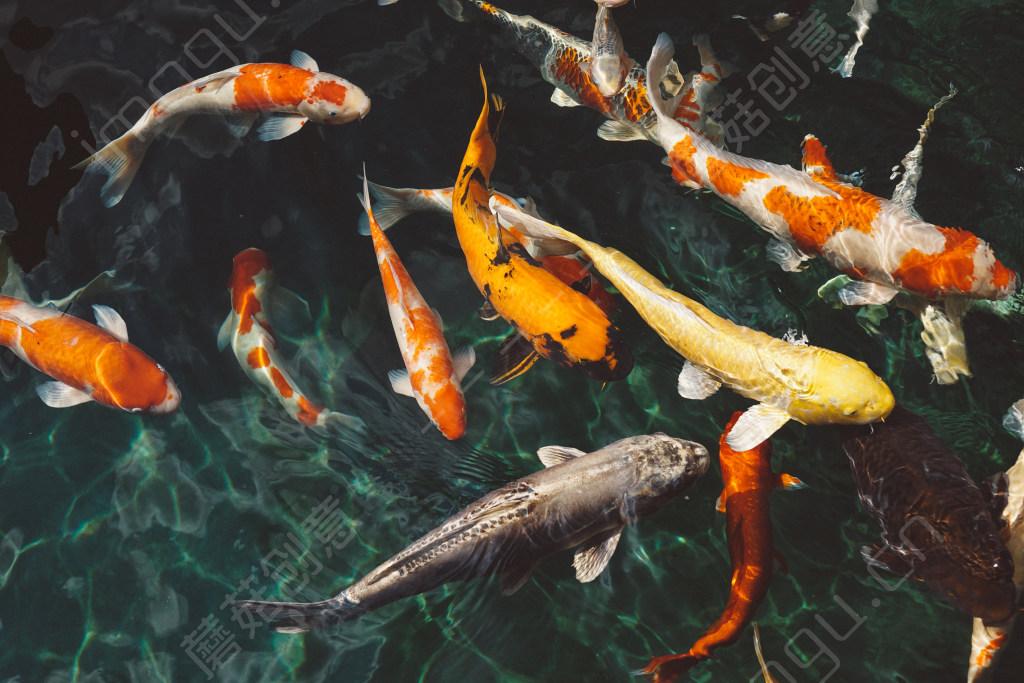 锦鲤鱼养殖