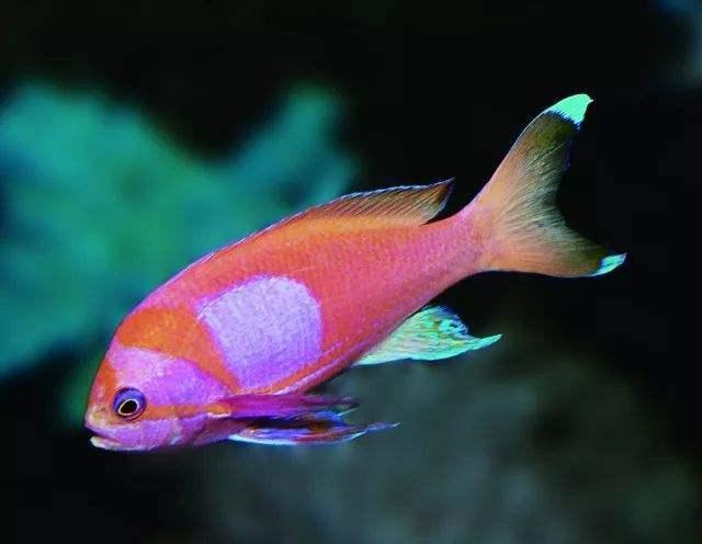 紫印鱼养殖