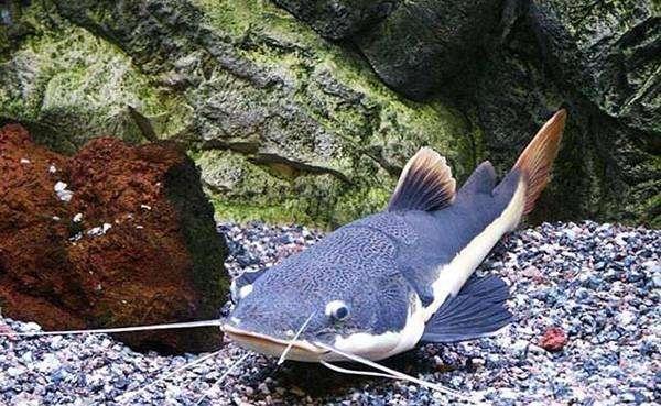 鲶鱼科养殖